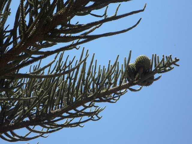 Free araucaria araucarie promenade fruit tap fruits