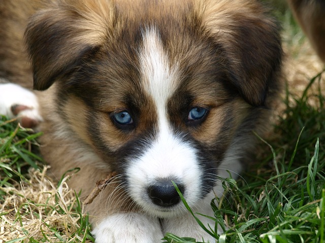 Free puppy blue eye hybrid young dog black eye dog