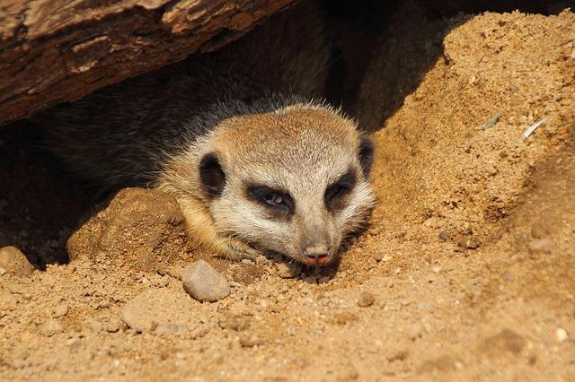 Free meerkat zoo mammal animal suricata suricatta