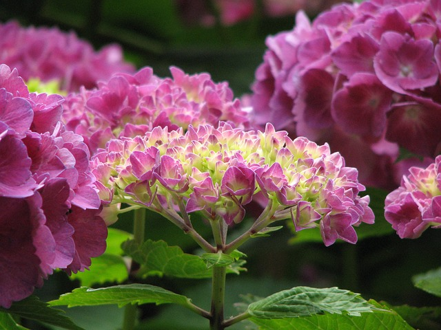 Free hydrangea bloom grow flowers green pink nature