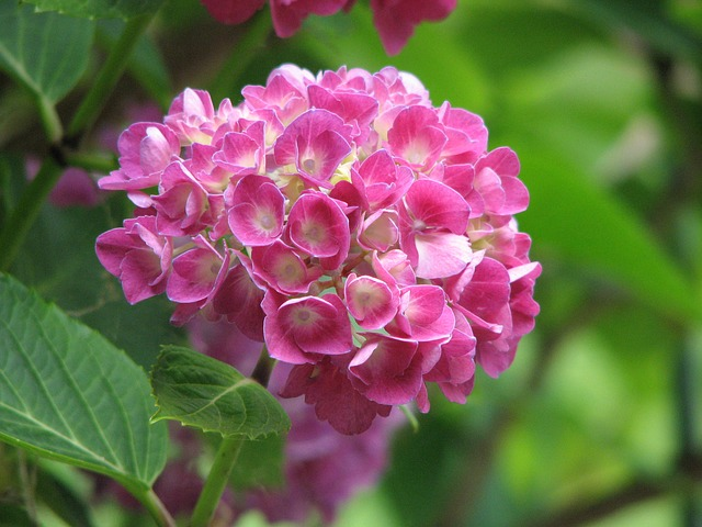 Free hydrangea bloom grow flower green pink nature