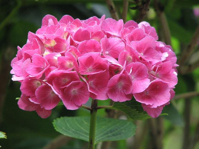 Free hydrangea bloom grow flower green pink nature