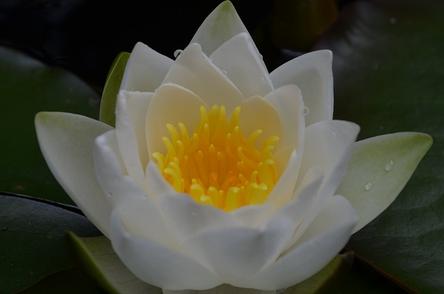 Free water lily white flower aquatic plant incomplete