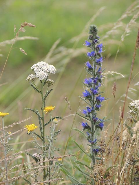 Free yarrow flower blue pointed flower medicinal plant