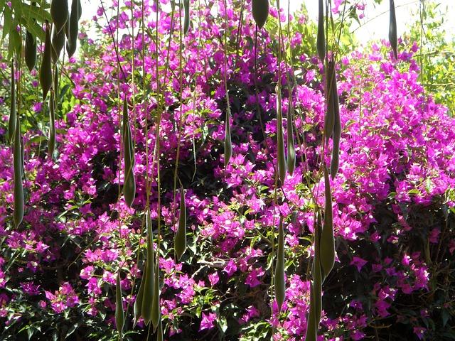 Free glycinie blue rain bougainvillea garden curtain