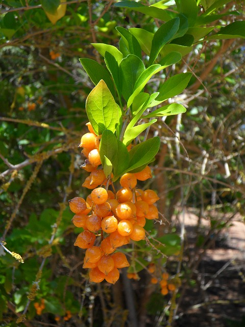Free berries berry orange orange berry exotic bush