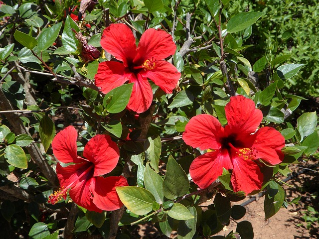 Free hibiscus three bloom flowers flower red plant