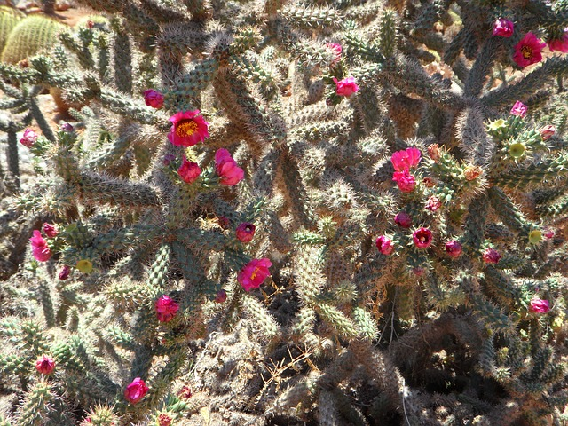 Free cactus cactus blossom bloom flowers pink