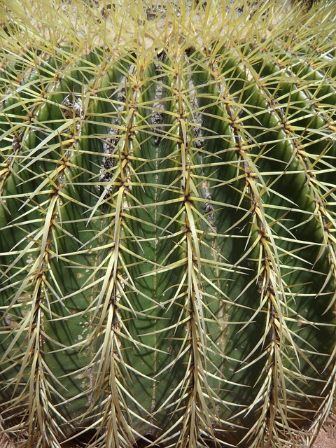 Free cactus ball cactus spur thorns structure texture