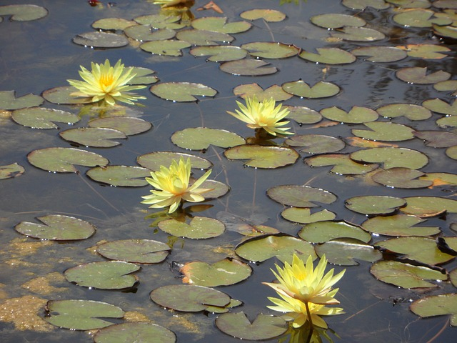 Free water lilies lily pond bloom yellow water pond