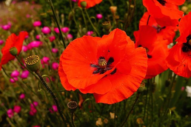 Free garden flower bed blütenmeer poppies flowers