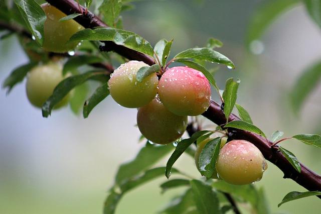 Free wild plums plum tree closeup