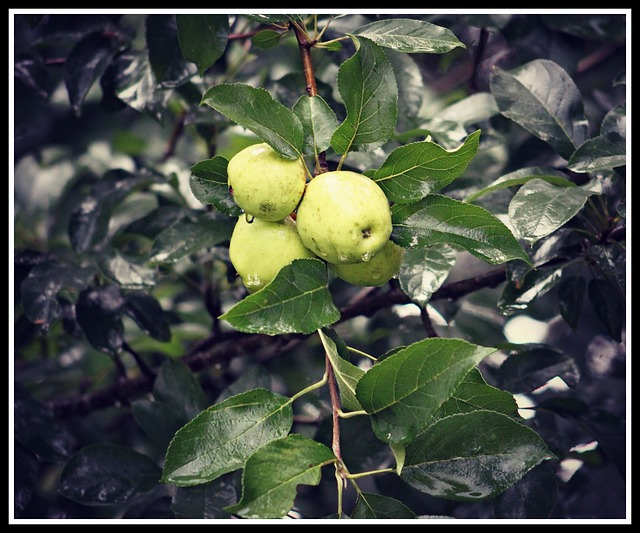 Free Photos: Wild apples tree fruit green fresh leaf | Cheryl Holt