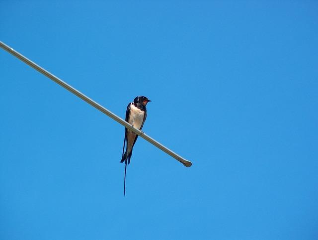 Free schwalbe animal bird nature antenna