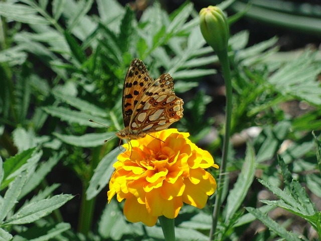 Free butterfly nature insect animal flower
