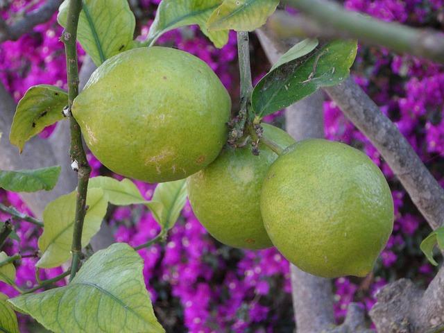 Free lemons mediterranean garden mediterranean garden