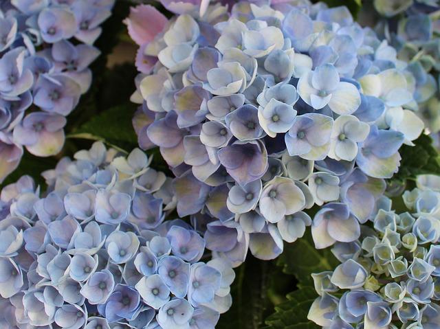 Free hydrangeas hydrangea sepals blue ornamental shrub