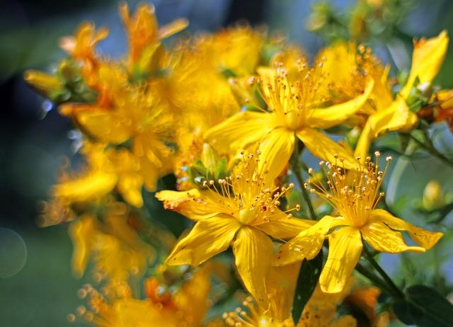 Free flower st john's wort hypericum perforatum wort