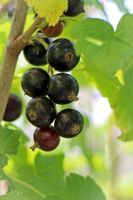 Free black currant ribes nigrum fruit berry fruits food