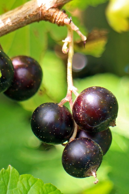 Free black currant ribes nigrum fruit berry fruits food