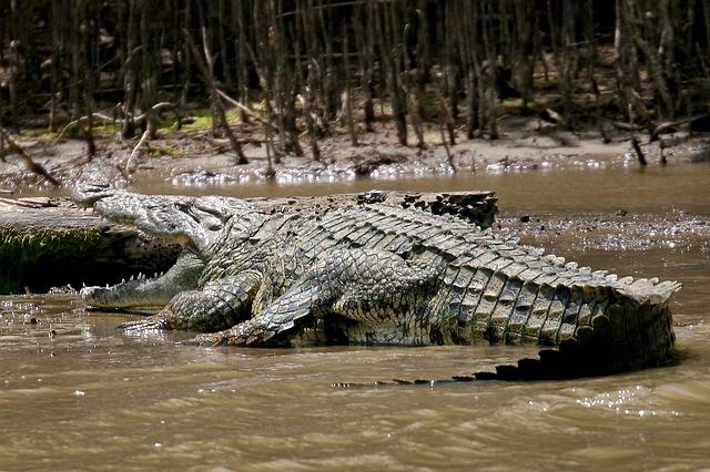 Free crocodile wild animal africa danger dangerous