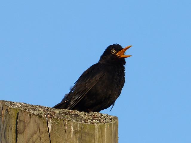 Free animal bird blackbird songbird sing black bill