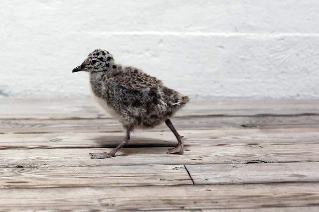 Free seagull chick bird fauna birds ave animals wings