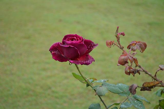 Free rose flower floral bloom green blossom petal