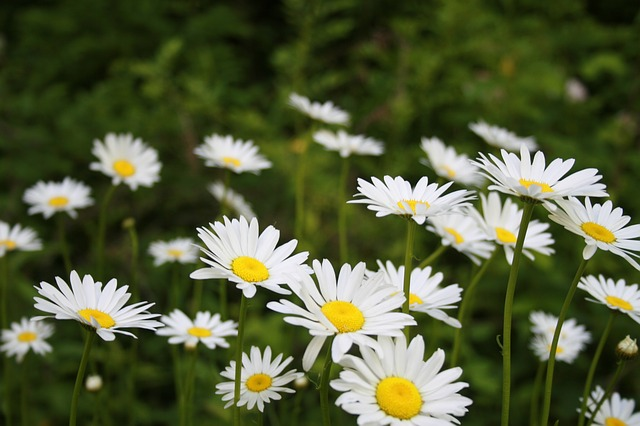 Free daisies nature park summer floral flower daisy