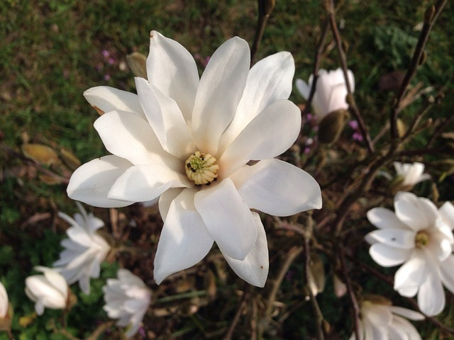 Free magnolia bush flower white ornamental spring