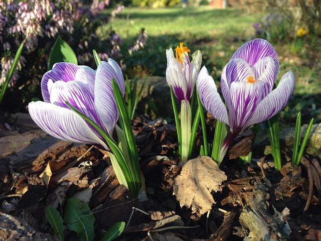 Free crocus early bloomer spring harbinger of spring