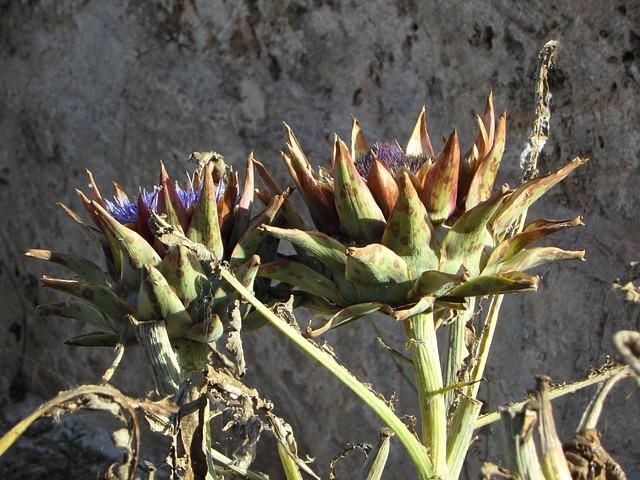 Free artichoke plant vegetables artichoke plant