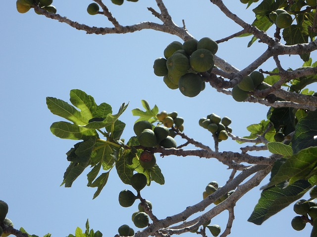 Free Photos: Cowardly fig tree real coward figs fruit eat | M W