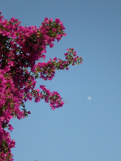 Free bougainvillea sky moon abendstimmung mediterranean
