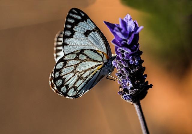 Free butterfly blue nature lavender summer garden