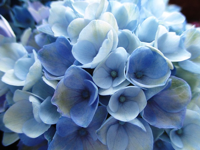 Free hydrangea plant flowers light blue