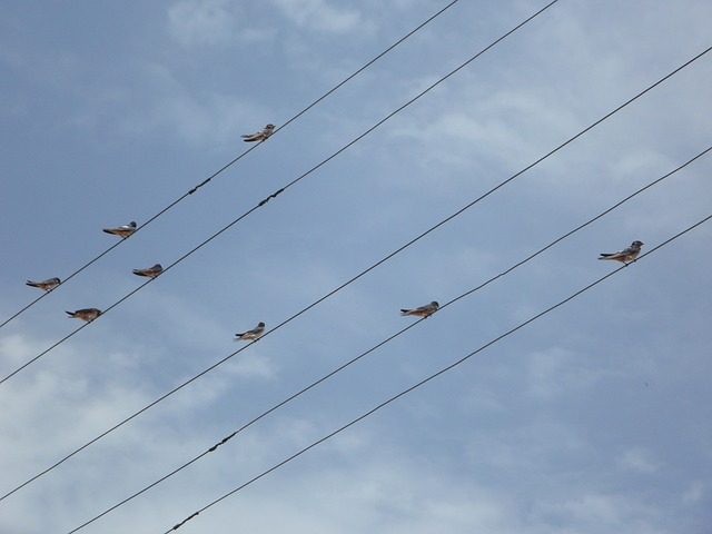 Free swallows power lines lines collect sit birds
