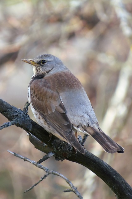 Free turdus pilaris fieldfare thrush sitting perch bird