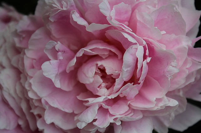 Free peony baby rose paeoniaceae double flower flower