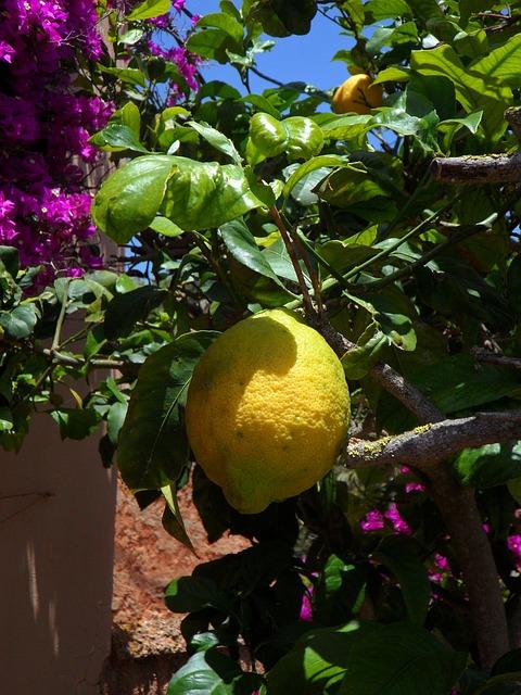 Free lemon lemon tree citrus citrus fruit fruit yellow