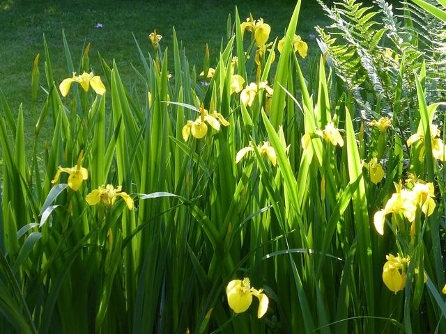 Free iris flower flowers plant morning light yellow