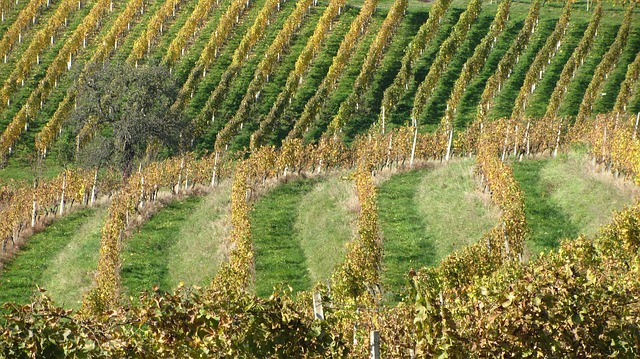 Free wine vineyard vine winery agriculture nature
