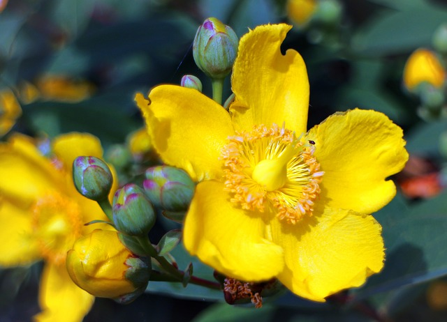 Free großblumiges st john's wort st john's wort flower