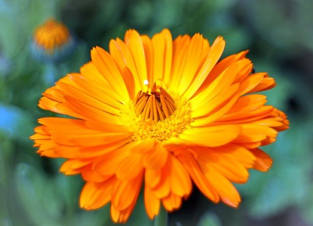 Free flower marigold gardening medicinal plant