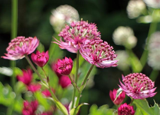 Free flower pink masterwort masterwort umbel flowers