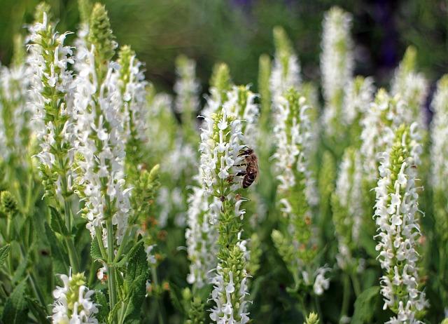 Free sage white garden sage shrub ornamental plant