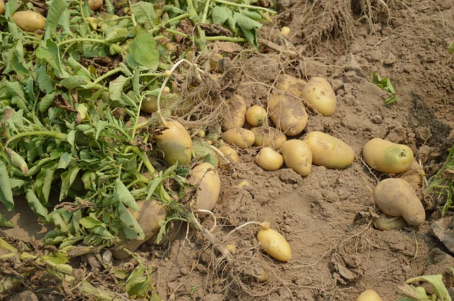 Free potato harvest crop farm garden organic healthy