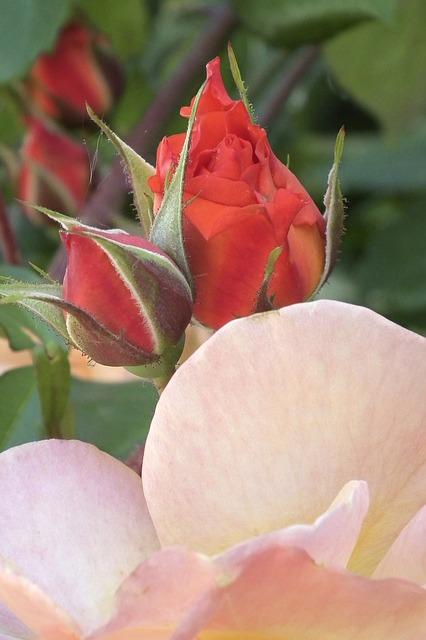 Free rose tender orange flower bud