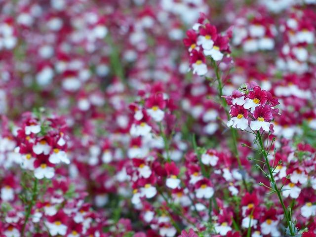 Free elf mirror flower red white balcony plant