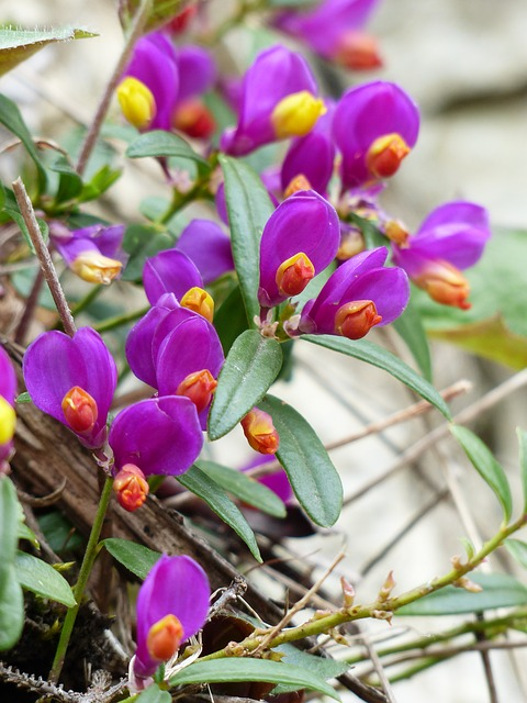Free polygala chamaebuxus flower purple violet yellow